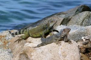 Hagedis Aruba