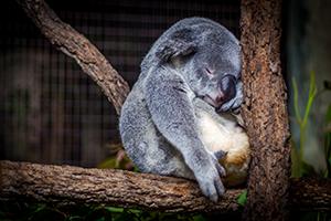 koala-cairns