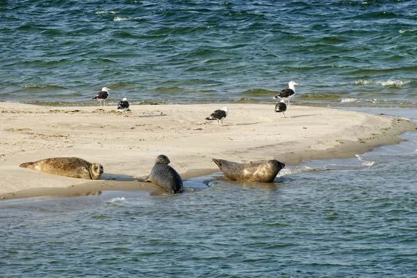 Zeehonden op de wadden bij Ameland