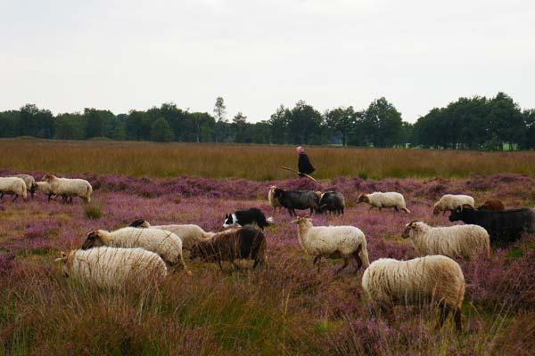 Hei met schapen in Drenthe