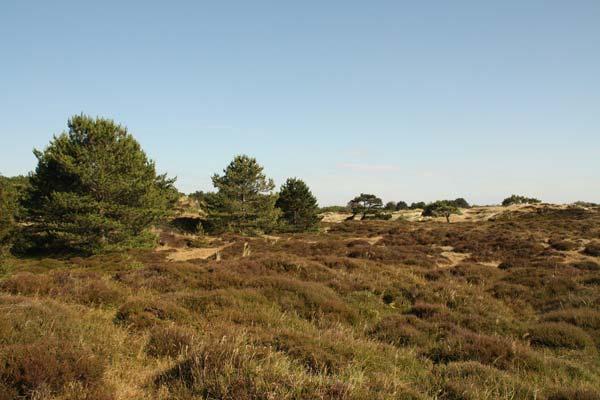 Heide op Vlieland