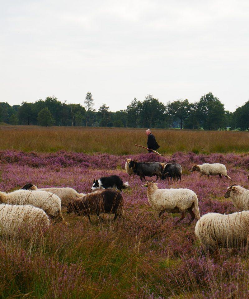 Heide met schapen