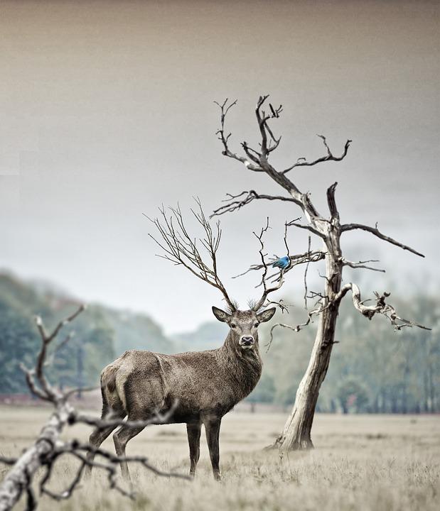 Nationaal Park de Hoge Veluwe hert